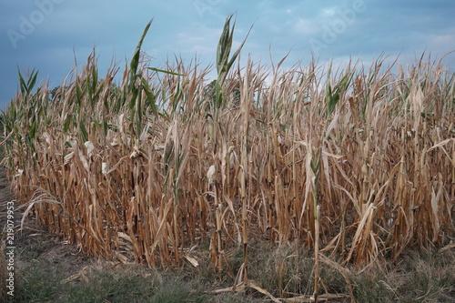 Fotografie, Obraz  Dürre in der Landwirtschaft
