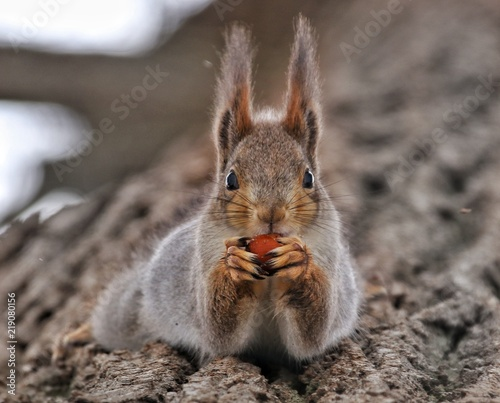 Spoed Foto op Canvas Eekhoorn Red-headed squirrel sits on a tree in the woods head-down eats nuts