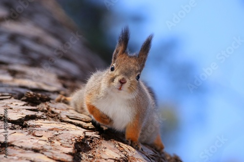 Tuinposter Eekhoorn Red-headed squirrel sits on a tree in the woods head-down eats nuts squirrel, animal, animal, mammal, rodent, tree, nature, forest, nuts, looks, eats, down, sky