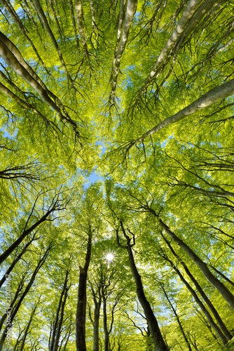 Forest of Beech Trees in Early Spring, from below, fresh green leaves