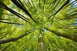 Leinwanddruck Bild - Beech Trees Forest in Early Spring, from below, fresh green leaves