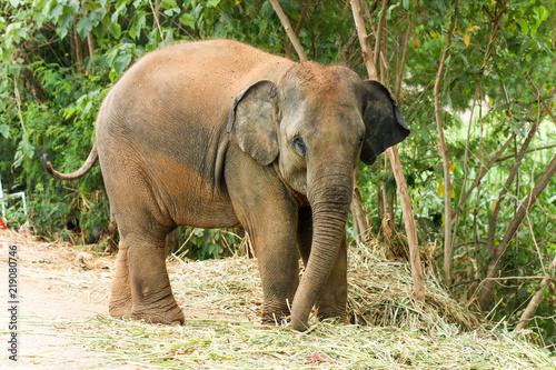 Photo Elephant calf ( baby elephant ) in Thailand.