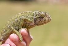Hand Holding A Green Chameleon