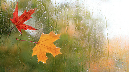 autumn weather/ two maple leaves glued to the window on the reverse side during the rain
