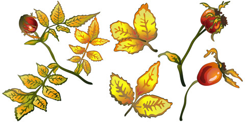 Vector autumn yellow rose hip leaves and plant. Leaf plant botanical garden floral foliage. Isolated illustration element. Vector leaf for background, texture, wrapper pattern, frame or border.