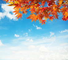 Branch With Colorful Autumn Leaves (Japanese-maple)  Against Blue Sky
