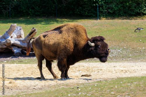 Foto op Canvas Bison Bison