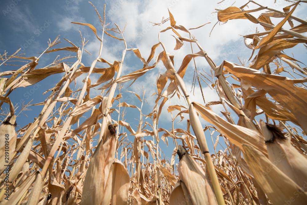 Fototapeta Vertrockneter Mais in Süddeutschland