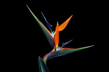 Strelitzia Flower Isolated On ...