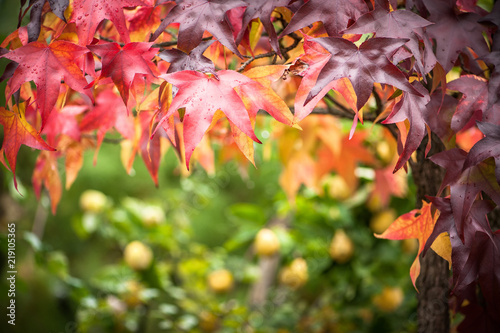 Fotomural Buntes Herbstlaub eines Amberbaums vor unscharfem Hintergrund