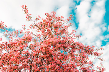 Panel Szklany Podświetlane Drzewa Red flower tree blossoming over blue sky. Nature floral background.