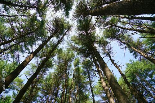Fotografie, Obraz  low angle view of the pine tree forest