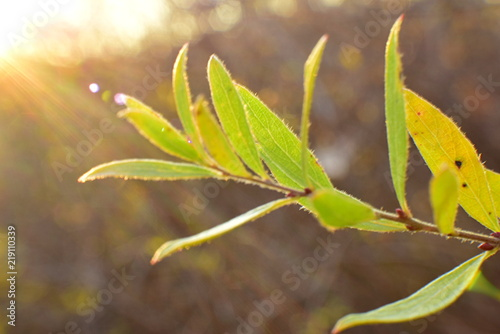 Fotografia  twig of the bush in the rays of the setting sun in the fall