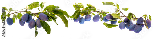 the branch with ripe plums and leaves isolated on white