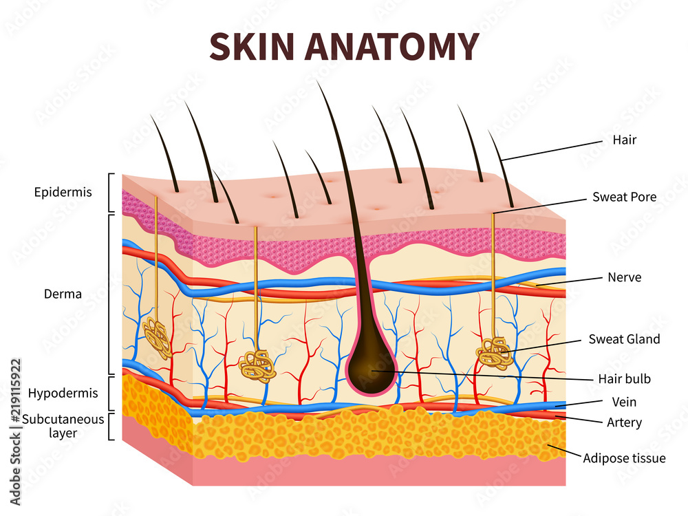Fototapeta Human skin. Layered epidermis with hair follicle, sweat and sebaceous glands. Healthy skin anatomy medical vector illustration