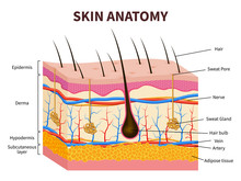 Human Skin. Layered Epidermis ...