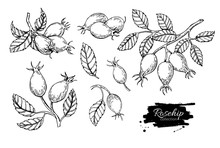 Rosehip Vector Drawing. Isolat...