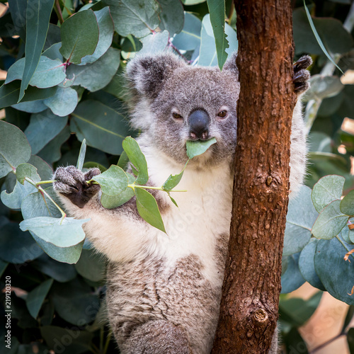 Koala eating leaves up a gum tree