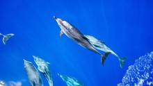Bubble Blowing Dolphin In Blue...