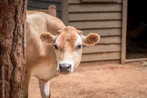 Brown Cow Canvas Print