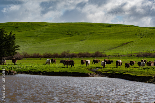 Poster Donkergrijs Murray grey cattle grazing