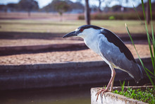 Side View, Sunny Day In A Square, A Black-crowned Night Heron (Nycticorax Nycticorax) Bird