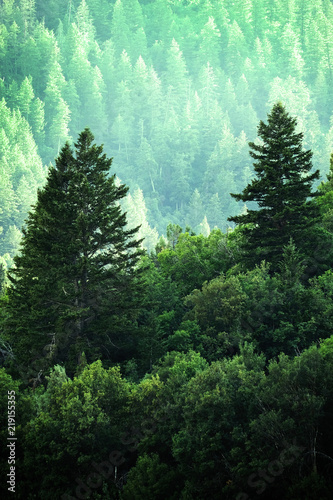 Pine Forest in Wilderness Mountains - 219155355