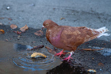 Illustration Of A Dove That Threw Bread In A Dirty Puddle. A Red Pigeon Dunks White Bread In A Puddle. A Small Red Pigeon Pecks A Piece Of Bread.