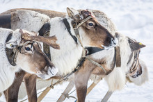 Mighty Reindeer In Harness On ...