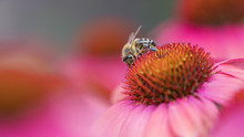 Bee On Pink And Red Flowers Of Echinacea Purpurea In Garden