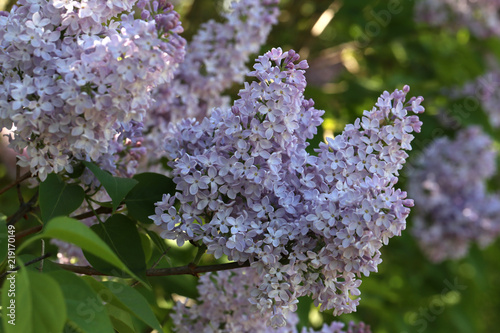 Tuinposter Lilac A branch of blossoming lilac in the garden