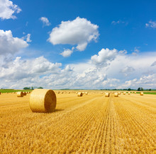Yellow Golden Straw Bales Of Hay In The Stubble Field, Agricultural Field Under A Blue Sky With Clouds