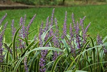 Liriope Muscari Or Lily Turf F...