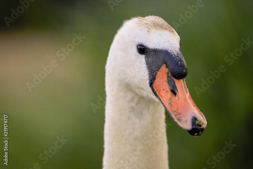 Swan, bird of the Cygnini tribe (Anatidae) - portrait