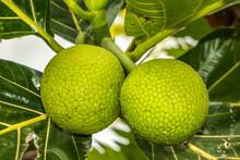 Breadfruit Artocarpus Altilis On A Tree In A Polynesian Island Of Oahu Hawaii