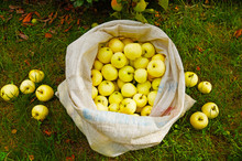 A Bag Full Of Early Ripening Apples, Yellow Transparent.