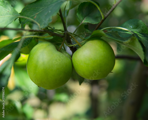 Fototapeta jabłko zielone-jablka-na-galezi