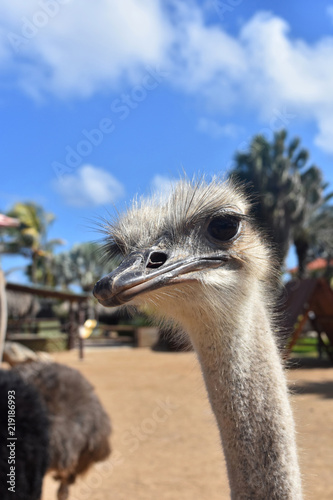 Quirkly Look on the Face of a Common Ostrich