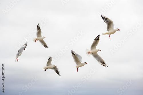 Canvas Print a group of seagulls flies in the sky.