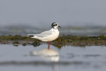 The Mediterranean Gull (Ichthyaetus Melanocephalus) Stands On The Water. May Be Juvenile Bird
