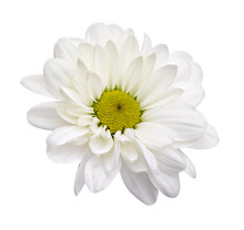 White Daisies, Chamomiles Isolated On White Background. Clipping Path