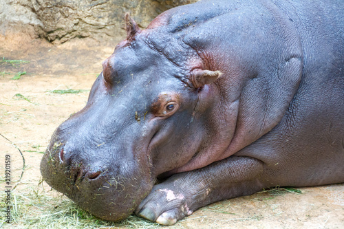 Fototapeta Sad looking hippopotamus looking pensively