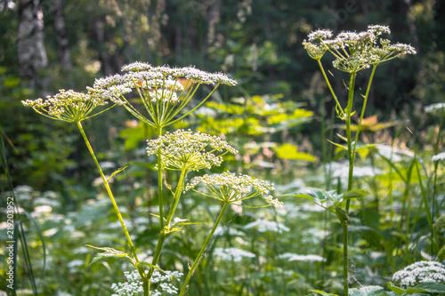 Obraz na plátně  Flowering umbelliferous herbs, lit by soft evening sunlight