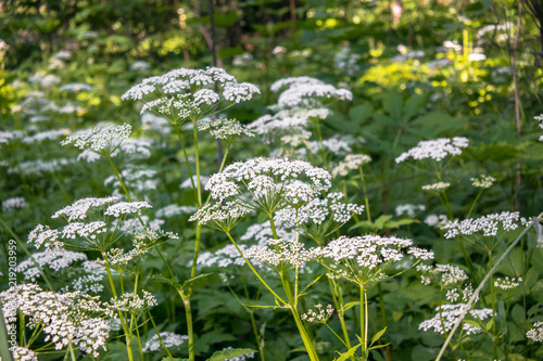 Valokuva  Flowering umbelliferous herbs, lit by soft evening sunlight