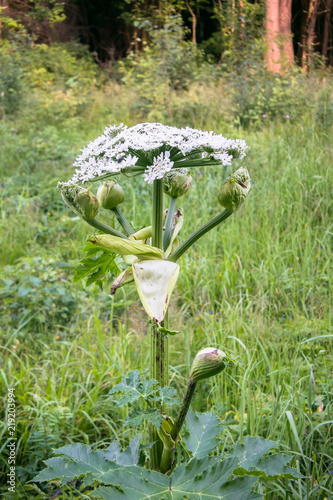Fototapeta Blooming inflorescence of giant hogweed, poisonous weed, outstanding by its aggressive spreading, powerful growth and high survivability