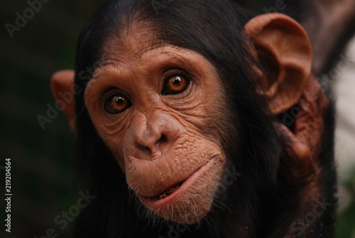 Portrait chimpanzee Wallpaper Mural