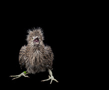 Baby Black Crowned Night Heron Isolated On Black Background