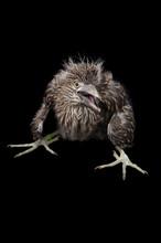 Baby Black Crowned Night Heron Isolated On Black