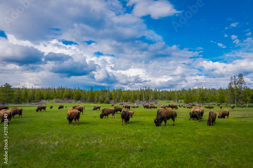 Leinwand Poster Herd of bison grazing on a field with mountains and trees in the background
