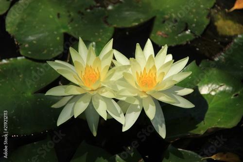 Obraz lilia wodna kwiaty-lilii-wsrod-lisci